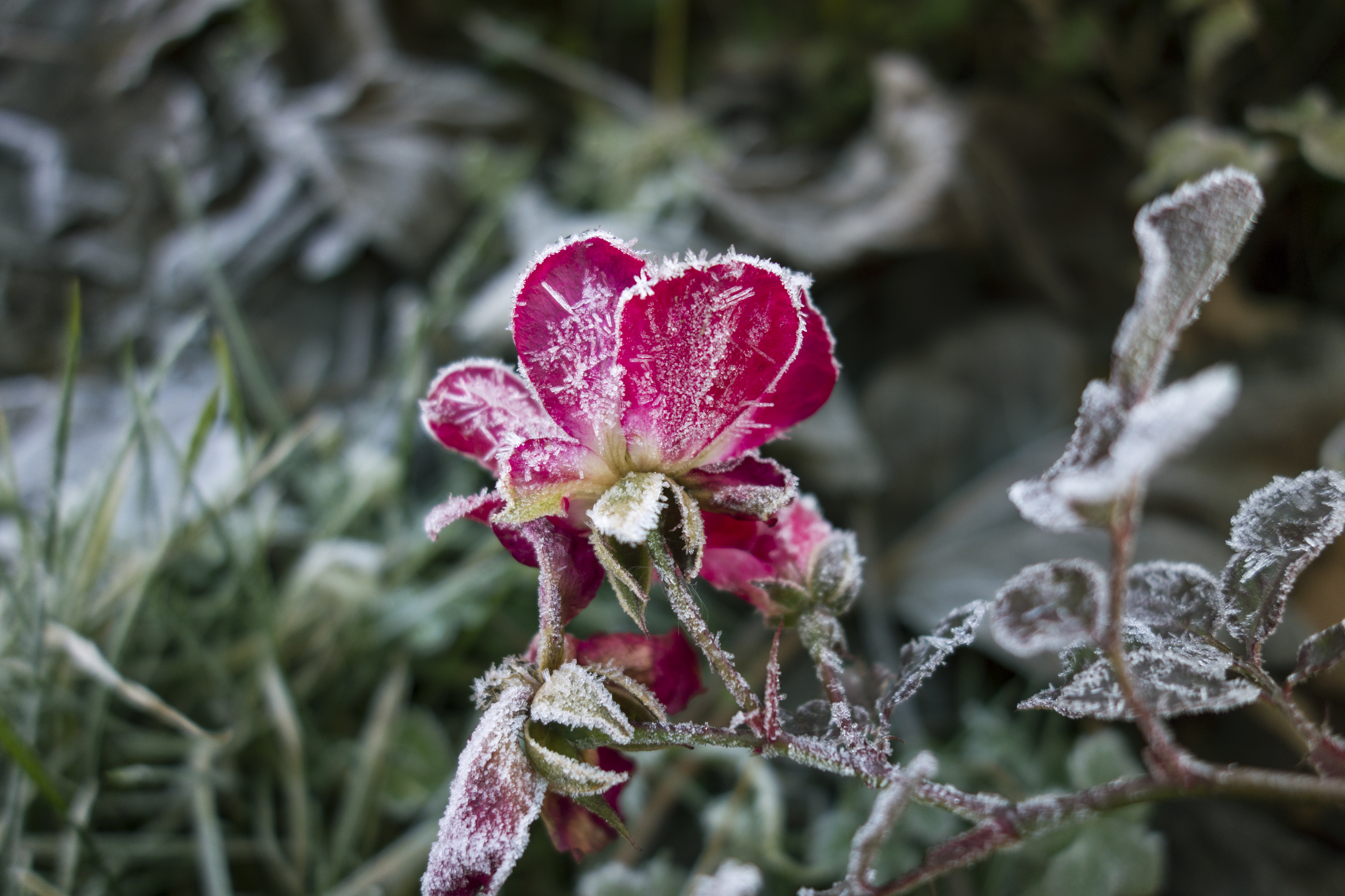 boboc trandafir inghetat